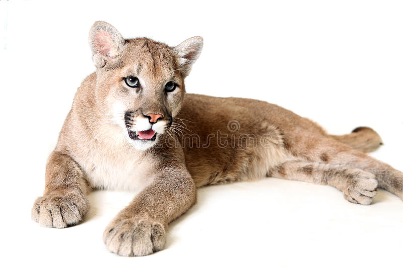 Download Mountain Lion stock photo. Image of looking, alert, nature - 9546180