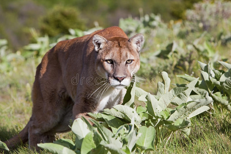 Mountain Lion approaching stock photos