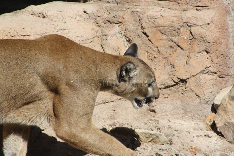 MOUNTAIN LION IN ARIZONA. This picture was taken at the Arizona Sonora Desert Museum in Tucson stock image
