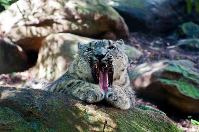 Mountain Lion Baring it& x27;s Teeth. In a roar royalty free stock photos