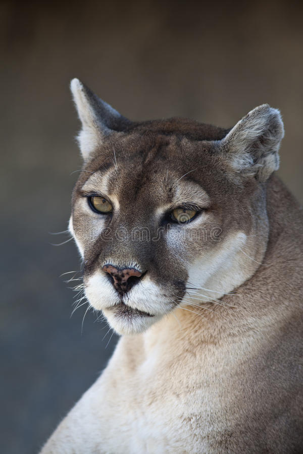 Mountain Lion close up royalty free stock images