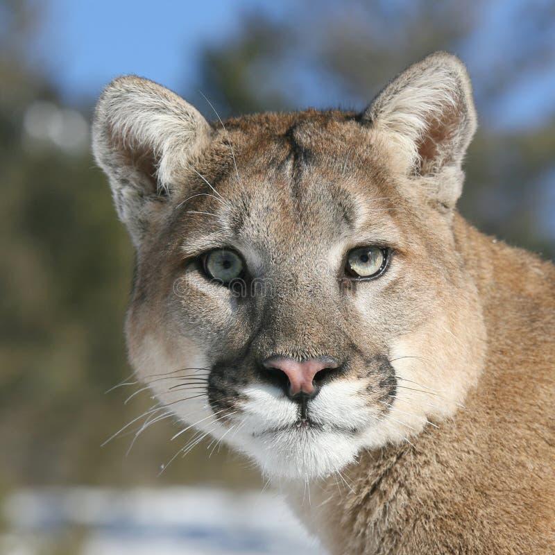 Mountain Lion closeup. A Beautiful Mountain lion or Puma portrait royalty free stock image