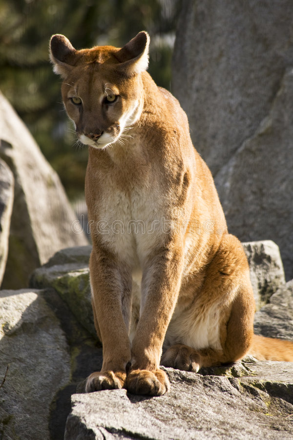 Mountain Lion Cougar Looking For Prey Royalty Free Stock Image