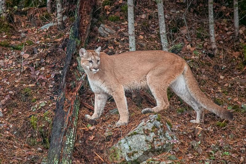Mountain Lion fêmea imagem de stock royalty free