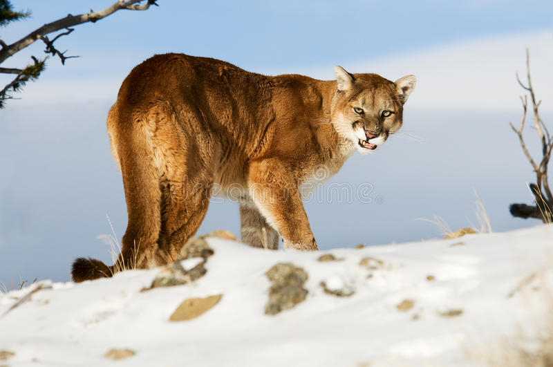Mountain Lion Growling Stock Photography - Image: 18663592