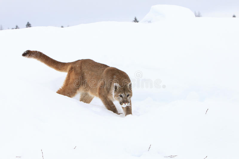 Mountain lion hunting prey in snow royalty free stock photos