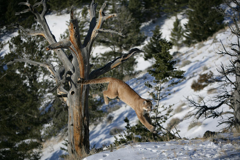 Download Mountain Lion Jumping From A Dead Tree Stock Image - Image: 10506395