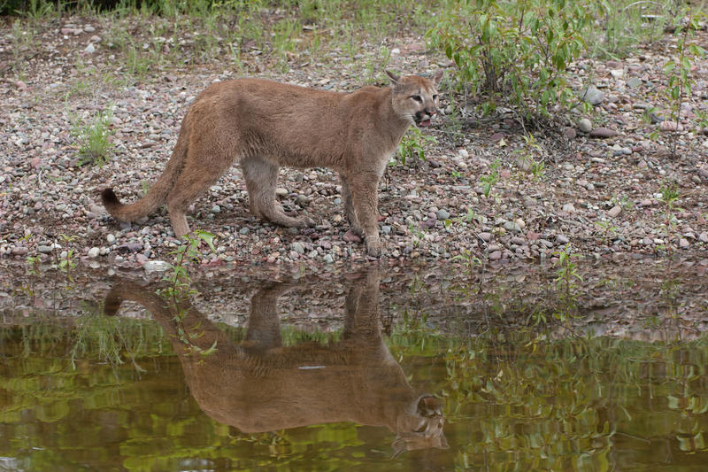 Mountain lion by lakeside stock image. Image of water ...