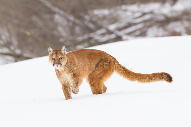 Mountain lion with long tail. In winter stock photo
