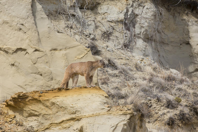 Mountain lion looking over canyon. Mountain lion on ridge looking over terrain royalty free stock image