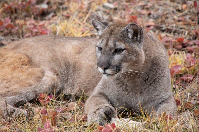 Mountain Lion nella caduta immagini stock libere da diritti