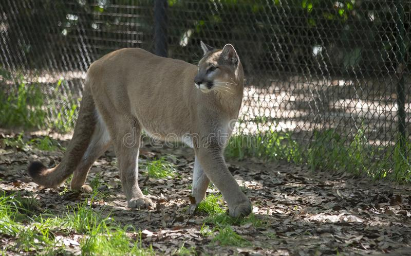Mountain Lion Pacing Inside Fence stock photos