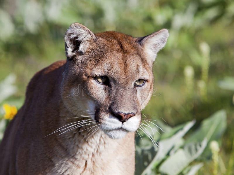 Mountain Lion Portrait. Mountain Lion cougar sits and waits stock image