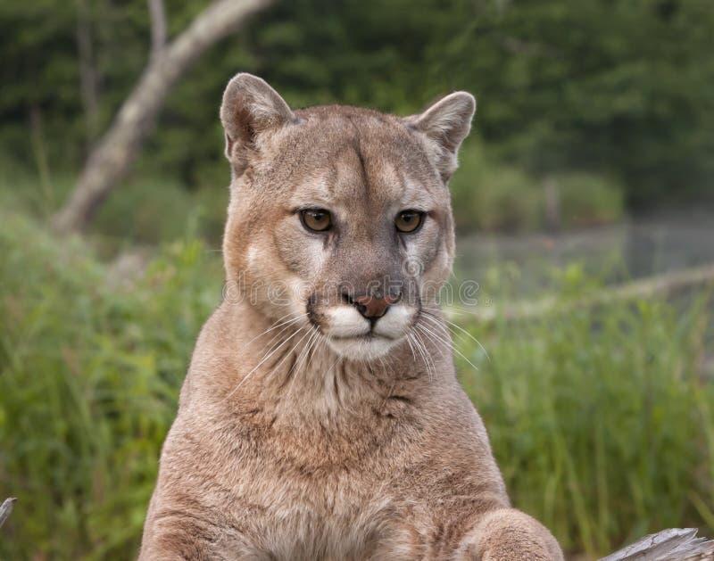 Mountain Lion Portrait stock image