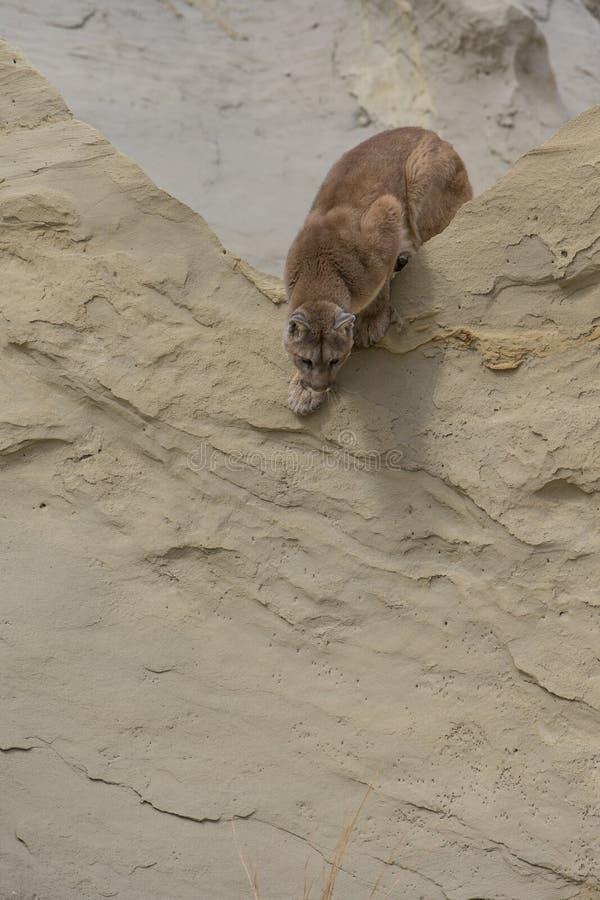 Mountain lion preparing to jump off ridge stock photos
