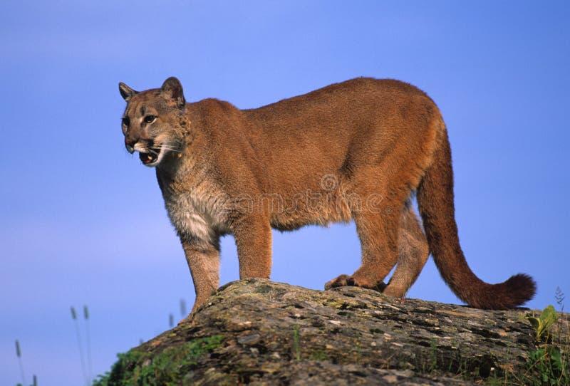 Mountain Lion on Rock stock image. Image of puma, nature ...