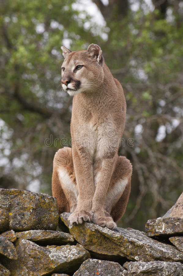 Mountain Lion on rocks royalty free stock photos
