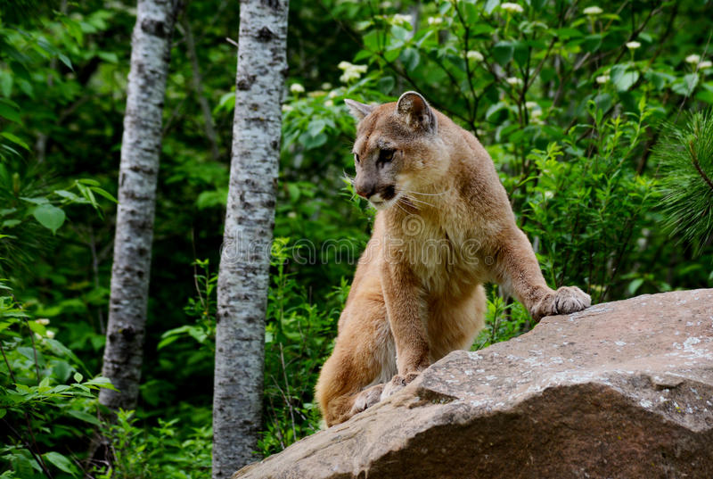 Mountain Lion Standing On A Large Rock. Stock Image ...
