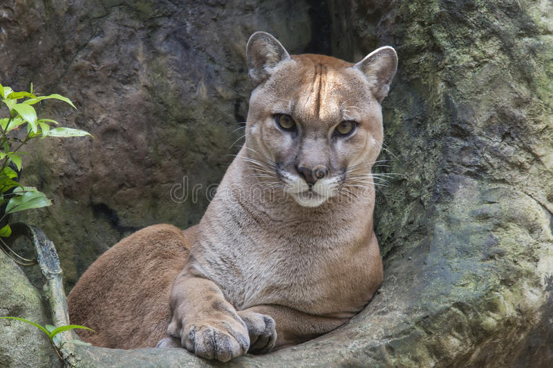 Mountain Lion. Staring straight at me royalty free stock photography