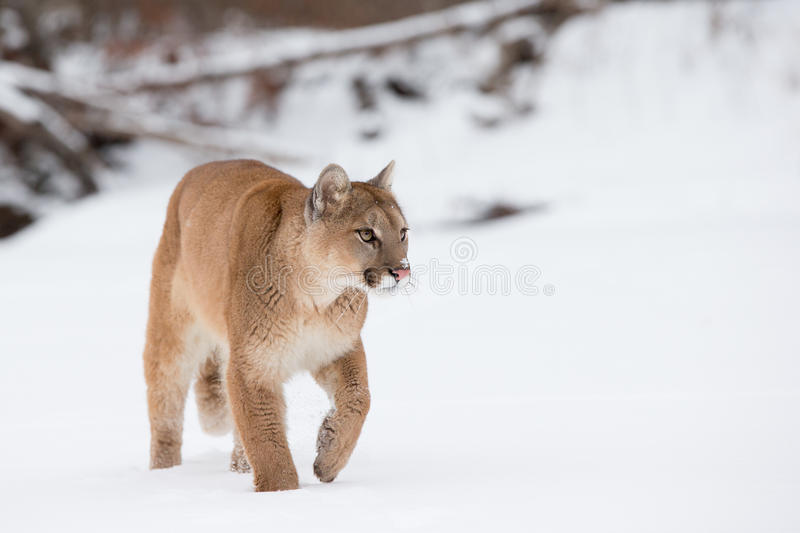 Mountain lion walking along snowy river stock photography