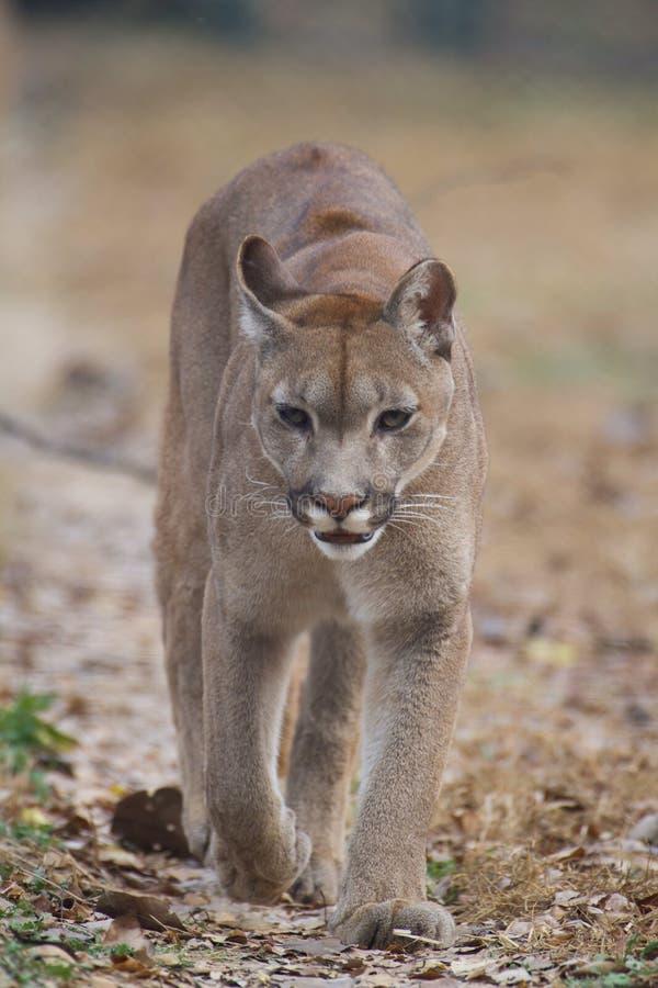 Mountain lion stock photo