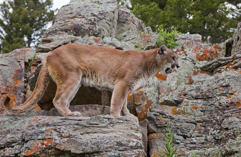 Mountain Lion watching stock photo