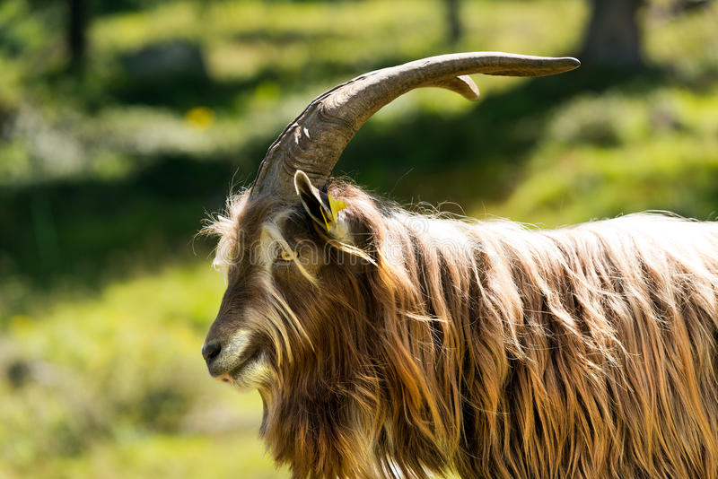 Download Mountain Male Goat Stock Photo Image Of Agriculture
