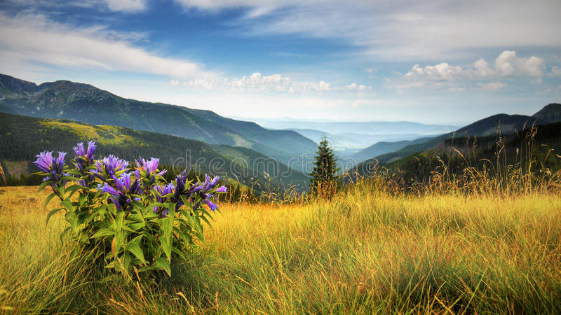 Autumn Landscape Panorama, Mountain Meadow. Autumn landscape panorama. Mountain meadow with Gentian flowers stock photography