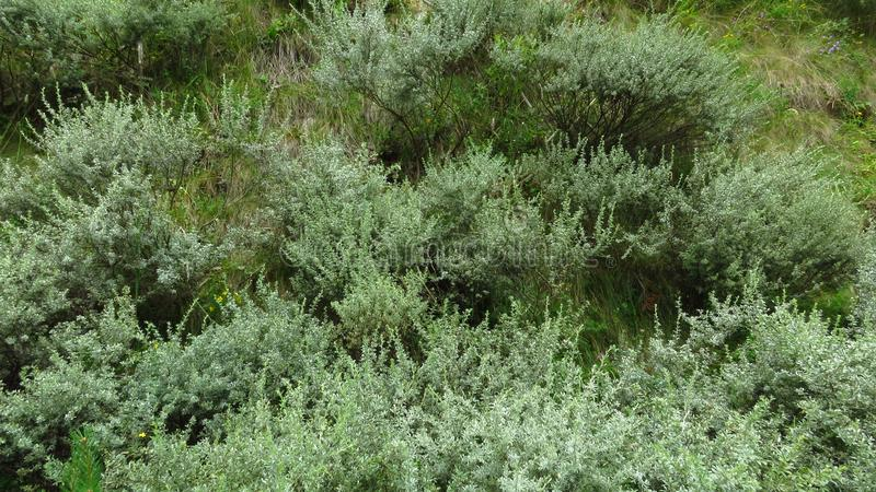 Mountain meadow covered with green shrubs and bushes. royalty free stock images
