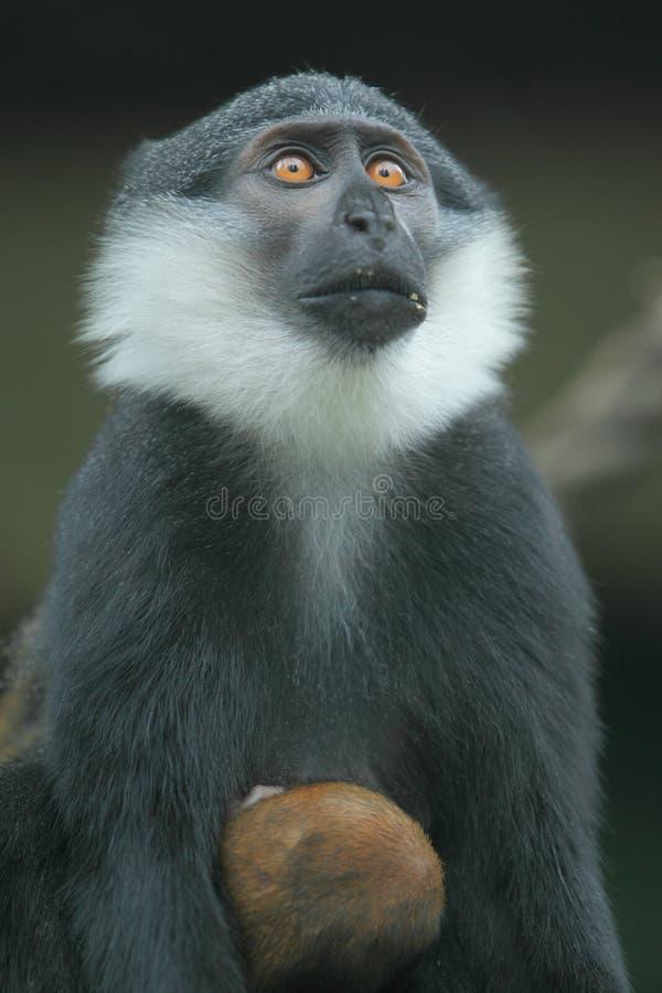 Mountain monkey royalty free stock image