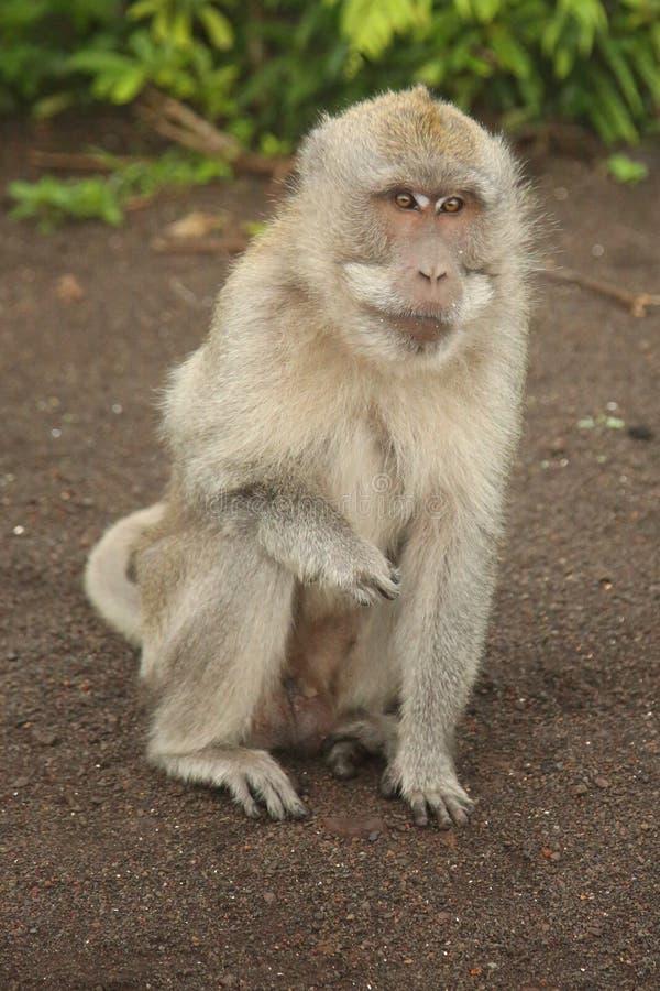 Mountain monkey at Bali, Indonesia stock image