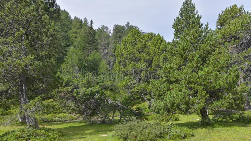 Mountain overview with stone pine trees. In summer royalty free stock photo