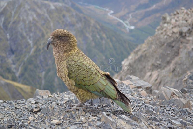 Mountain parrot stock photos