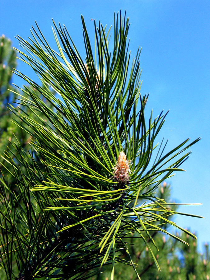 Download Mountain pine stock photo. Image of pine, mountain, coniferous - 69420