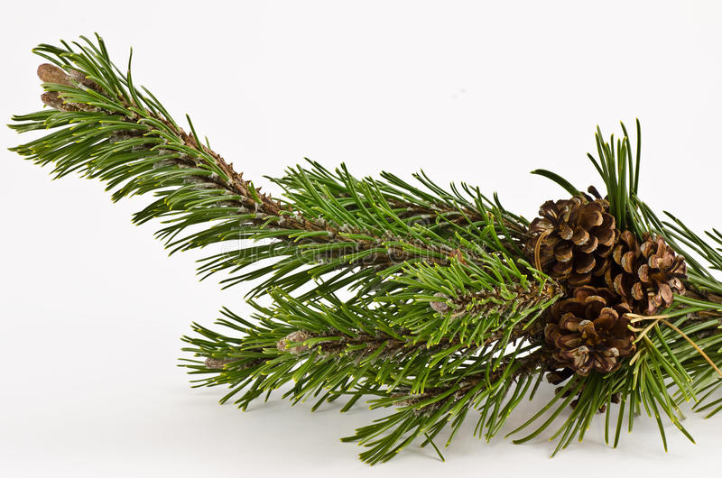 Mountain pine branch stock images