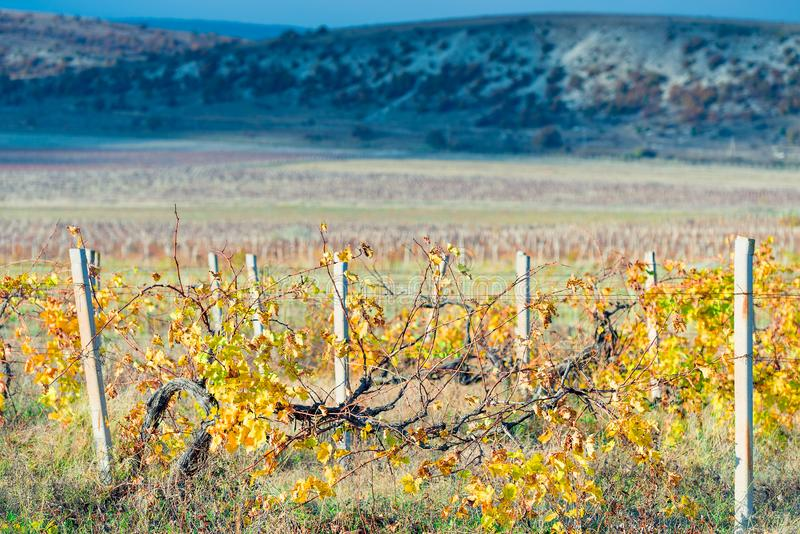 Mountain plantations of grapes in the autumn afternoon, empty vi royalty free stock images