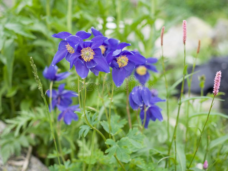 Mountain purple flowers on a background of greenery stock image