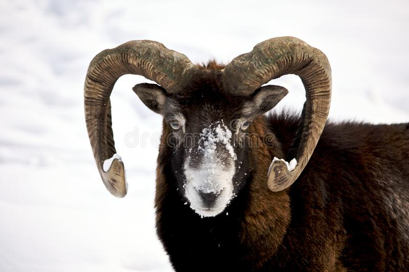 Mountain ram royalty free stock photos