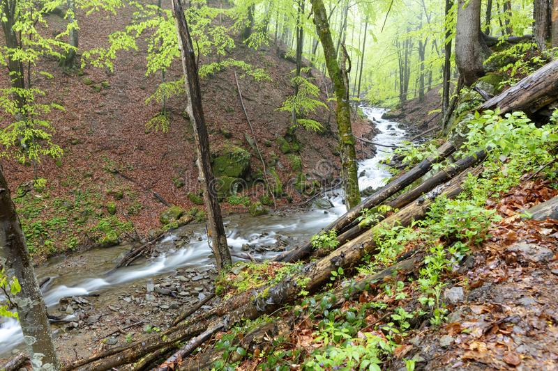 The mountain river flows along the slope of a damp spring forest. The mountain river overcomes forest debris and stone rapids flowing along the slope of a rainy royalty free stock image
