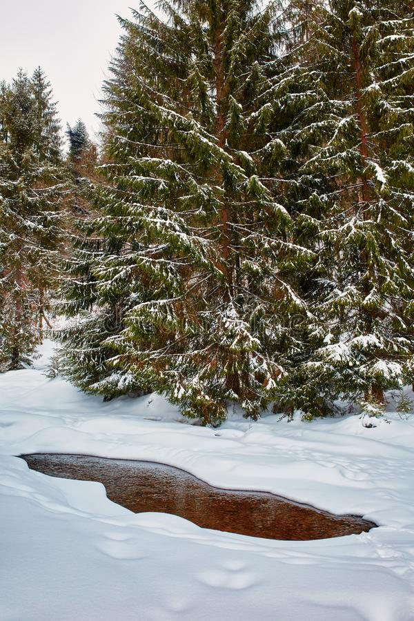 Mountain river in the winter. Landscape with a mountain river in the winter going through pine forest stock photos
