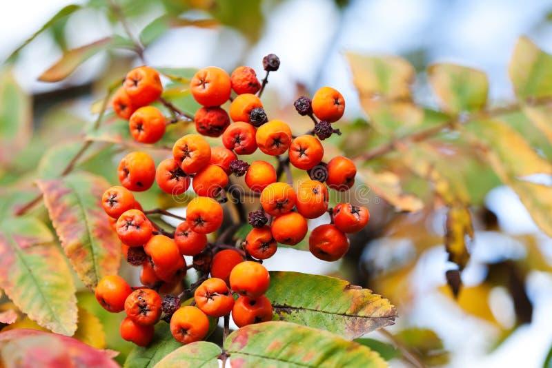 Mountain rowan fruits ashberries. Autumn harvest still life scene. Soft focus blurred background photography. stock image