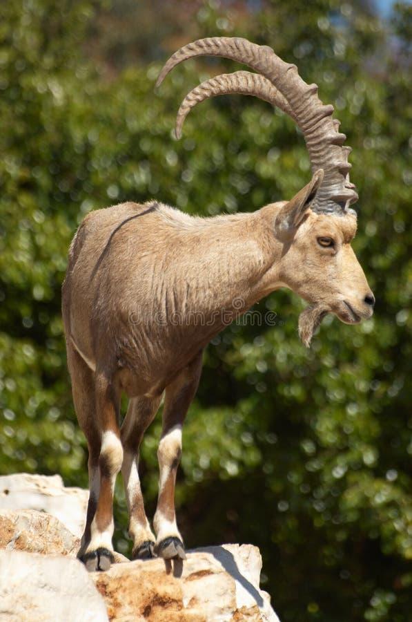 Mountain sawhorse stock photography