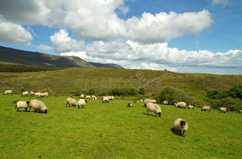 Download Mountain scenery stock photo. Image of ireland, mutton - 14900182