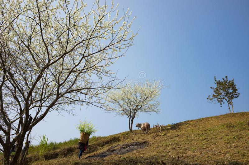 Mountain scenery with Hmong ethnic minority woman carrying cabbage flowers on back, blossom plum tree, white water buffalo and blu stock image