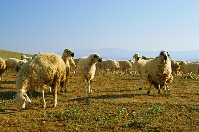 Download Mountain sheep stock photo. Image of meadow, graze, landscape - 6969428