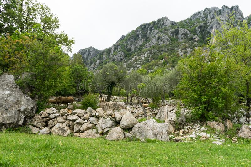 Mountain sheep peeping out of the bush. Flock of sheep walking in the forest and big mountains from Montenegro in the background. royalty free stock image