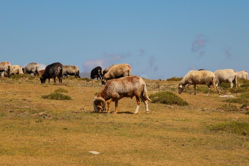 Mountain sheeps. royalty free stock photo