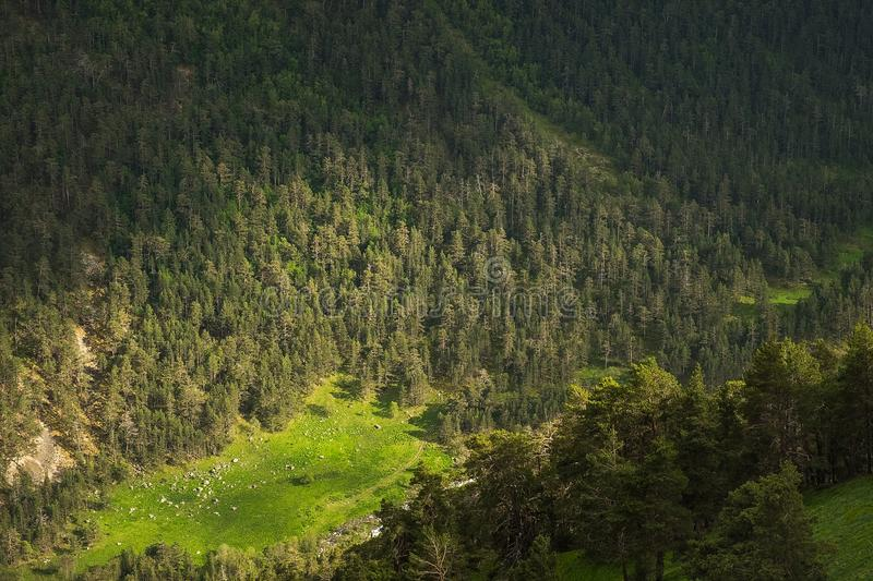 Mountain slopes overgrown with bright green grass and coniferous trees in the morning or evening light royalty free stock photos