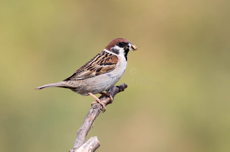 Mountain sparrow with prey. For chiks stock photo