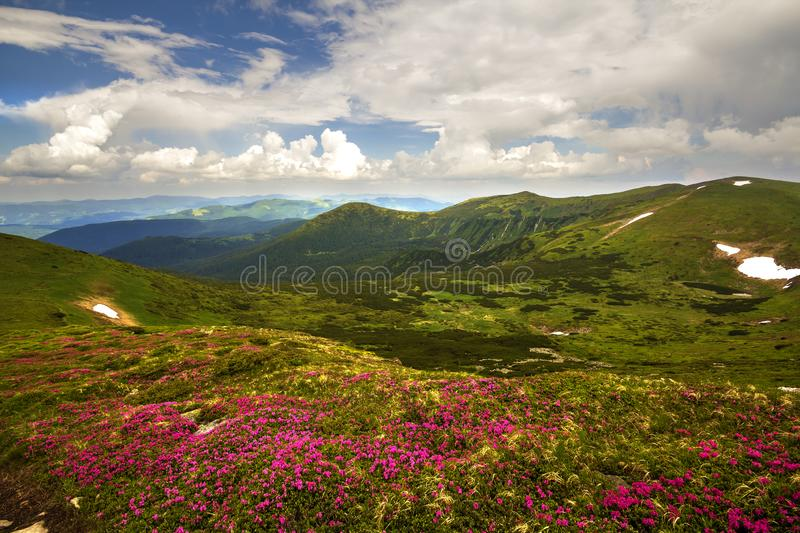 Mountain spring panorama with blooming rhododendron rue flowers and patches of snow under blue cloudy sky.  stock images